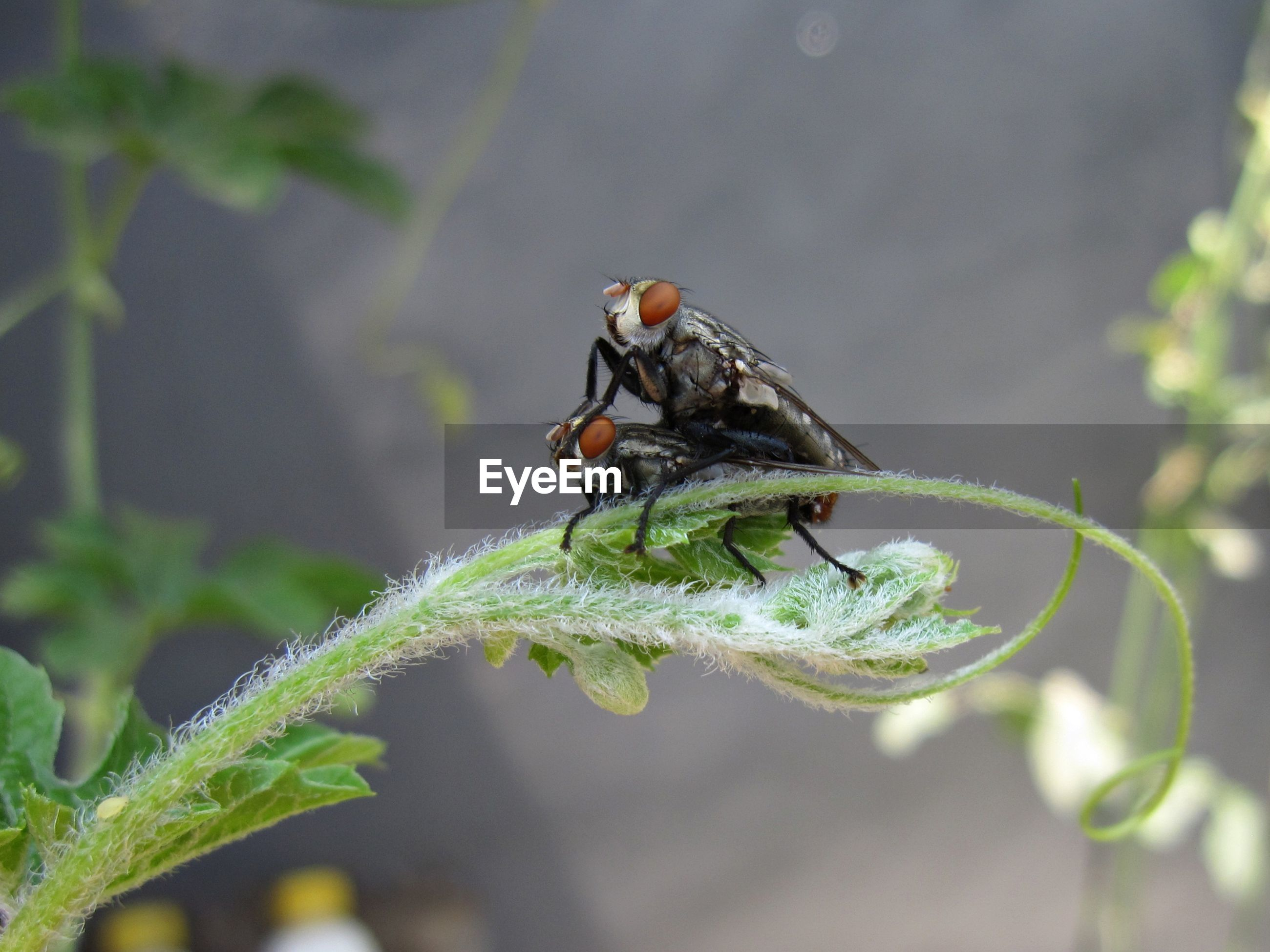Close-up of flies mating on plant