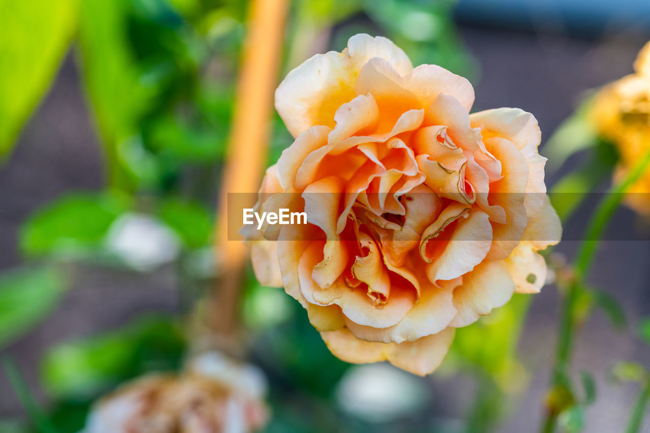 fragility, vulnerability, beauty in nature, flower, freshness, growth, petal, plant, close-up, inflorescence, flowering plant, flower head, focus on foreground, no people, nature, day, orange color, outdoors, botany