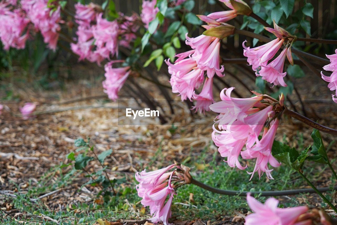 flower, flowering plant, plant, pink color, beauty in nature, vulnerability, fragility, petal, freshness, close-up, growth, flower head, inflorescence, nature, no people, day, focus on foreground, selective focus, springtime, plant part, outdoors, purple, pollen