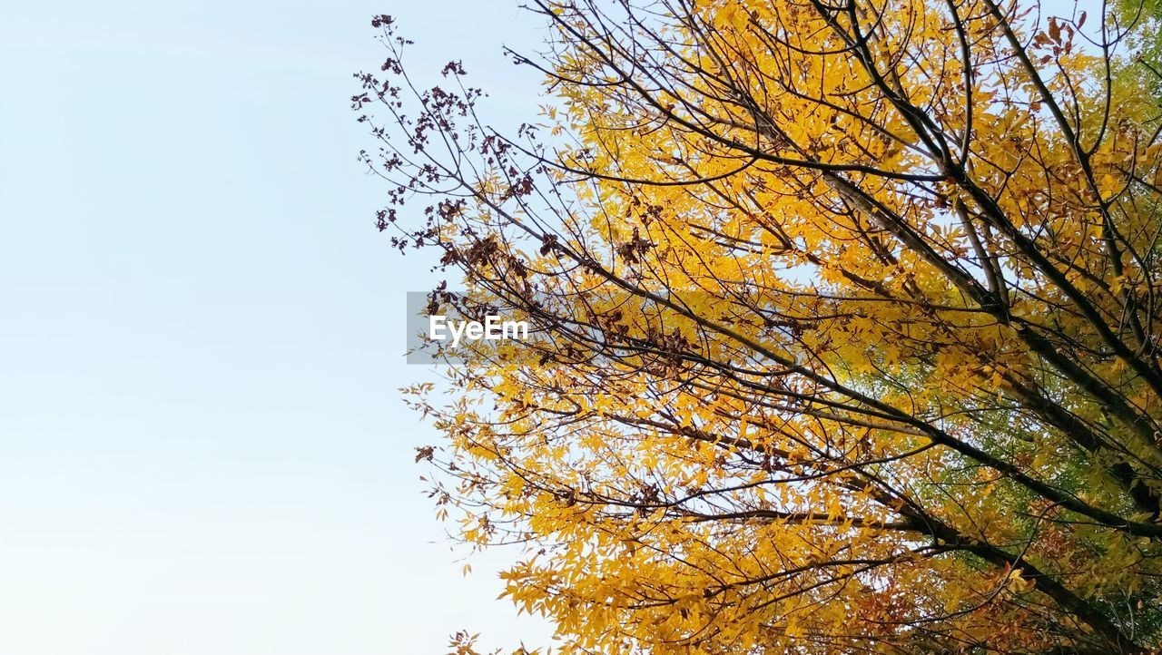 tree, plant, autumn, low angle view, sky, beauty in nature, branch, growth, no people, change, tranquility, day, nature, clear sky, outdoors, leaf, plant part, yellow, scenics - nature, orange color, treetop, tree canopy