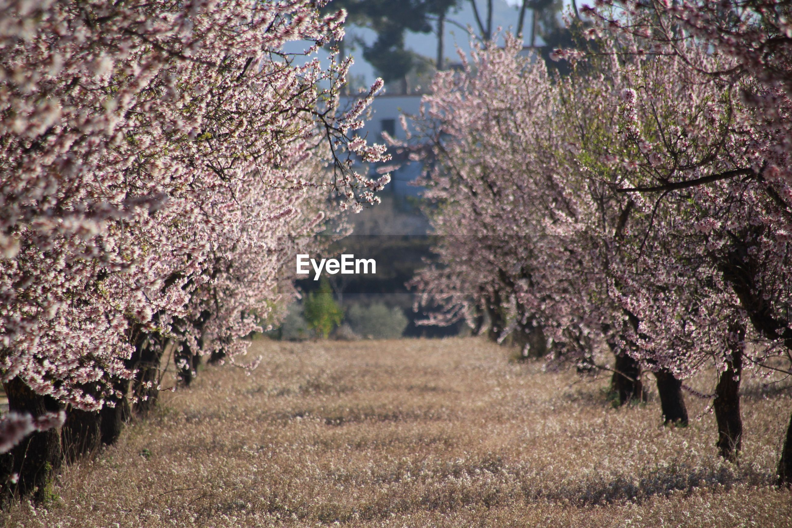 CHERRY BLOSSOMS ON FIELD
