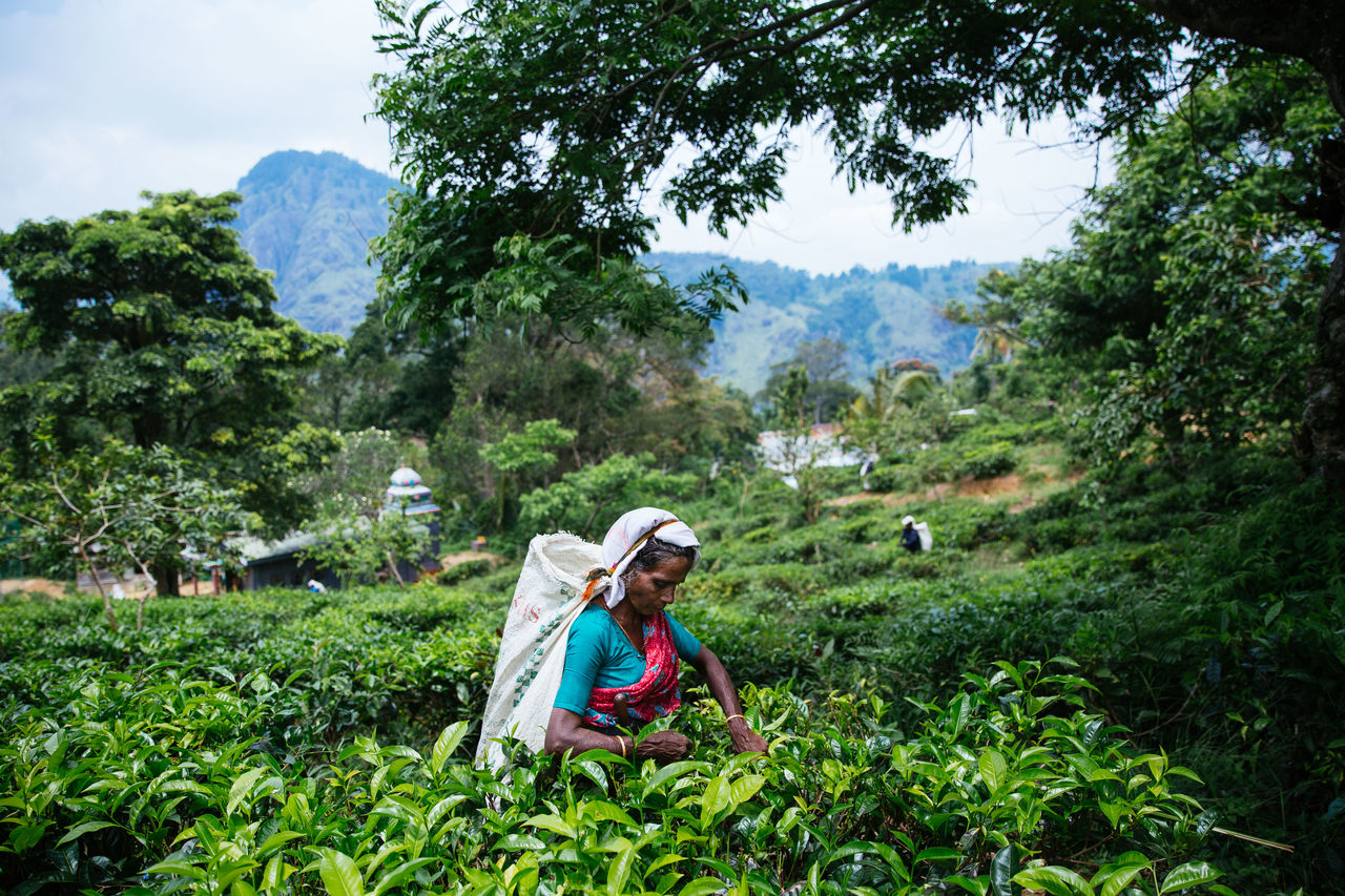 plant, growth, tree, one person, green color, nature, real people, clothing, hat, day, land, women, beauty in nature, adult, lifestyles, mountain, landscape, outdoors, field, farmer, tea crop