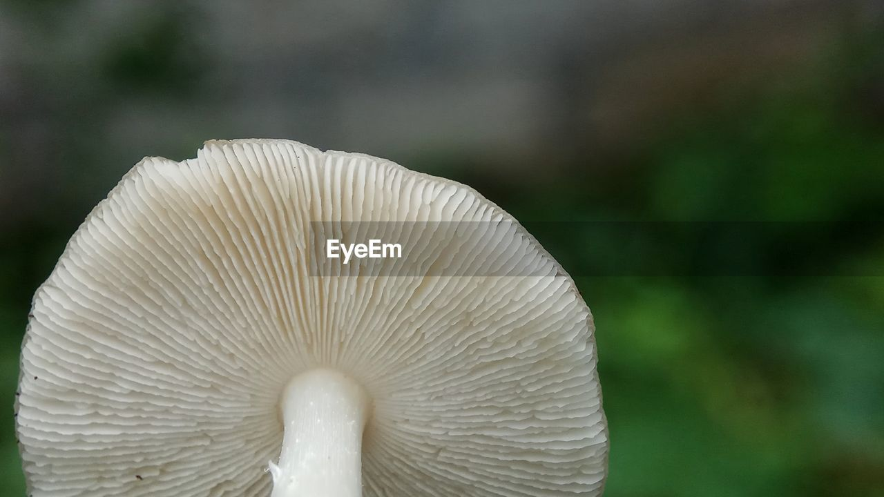 mushroom, fungus, vegetable, focus on foreground, edible mushroom, close-up, toadstool, growth, plant, food, no people, beauty in nature, day, nature, freshness, vulnerability, white color, fragility, food and drink, outdoors, wild