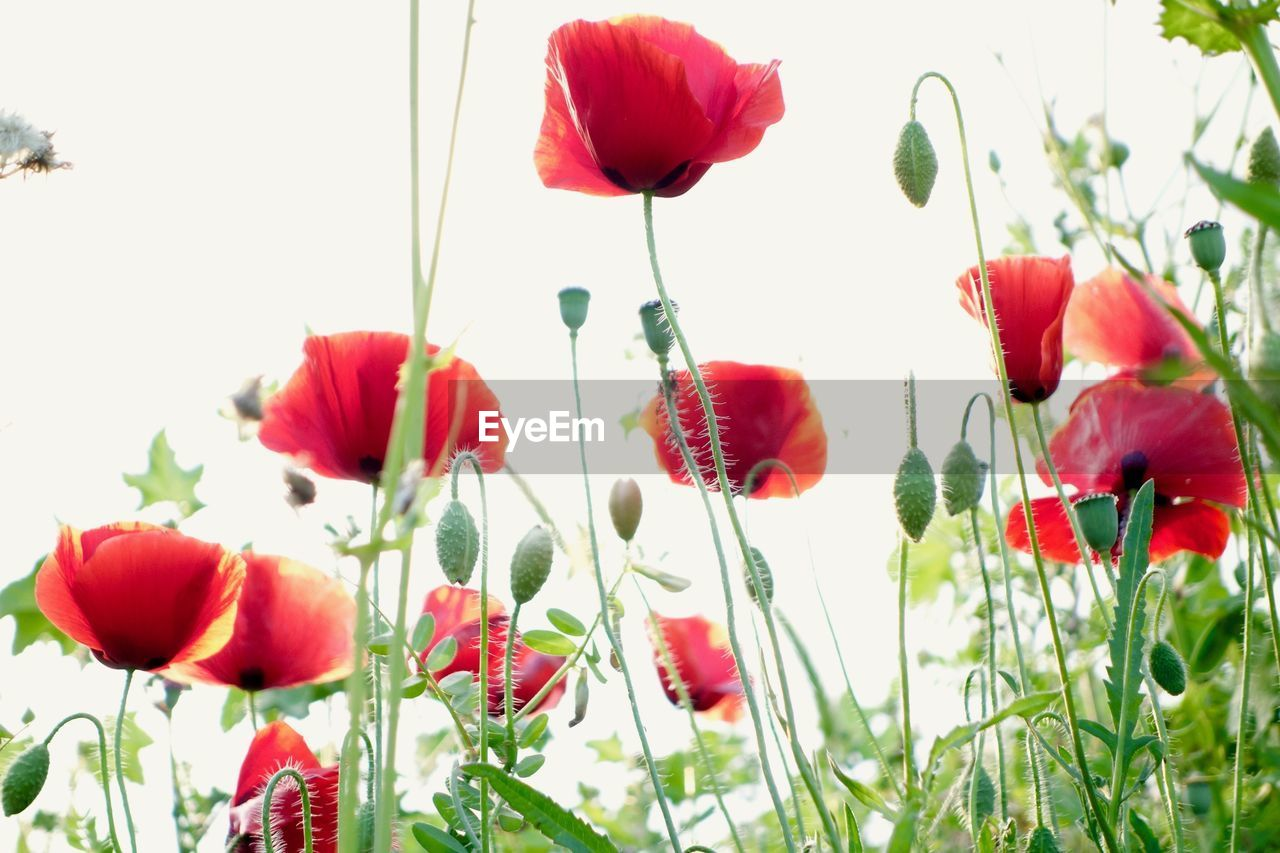 flower, beauty in nature, growth, nature, freshness, petal, plant, poppy, no people, fragility, red, flower head, tulip, blooming, day, outdoors, close-up