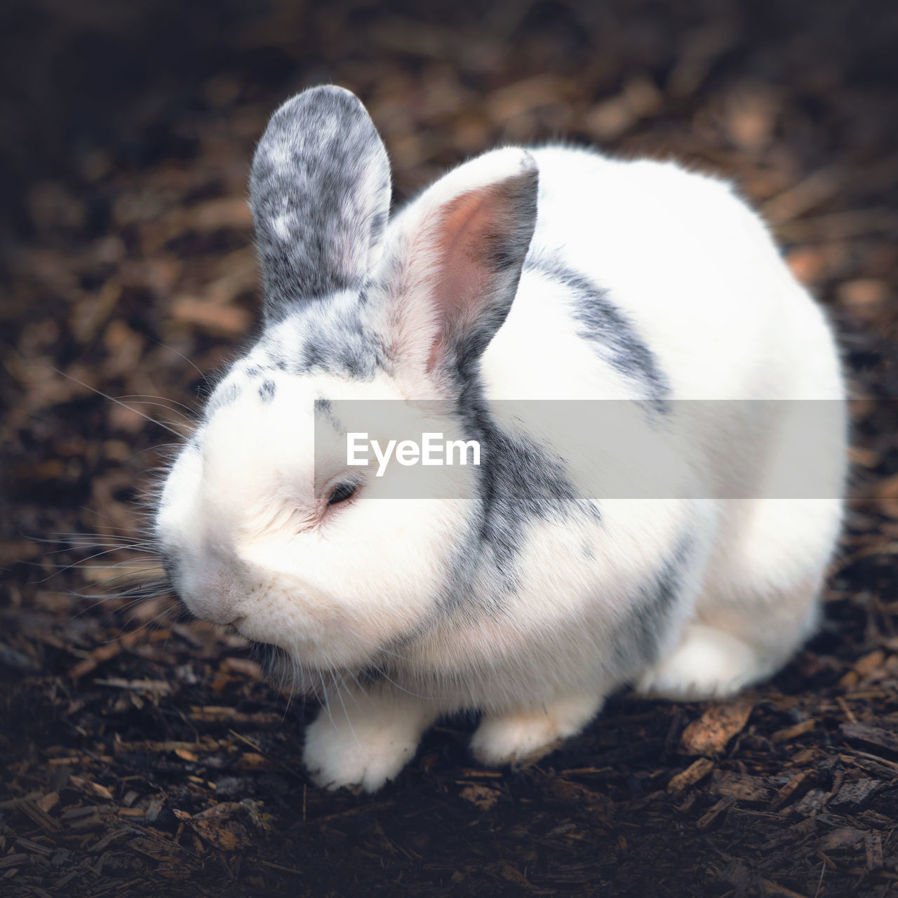 animal, mammal, one animal, animal themes, pets, domestic animals, domestic, vertebrate, field, white color, close-up, land, no people, rabbit, rabbit - animal, nature, focus on foreground, looking, day, animal wildlife, herbivorous, whisker