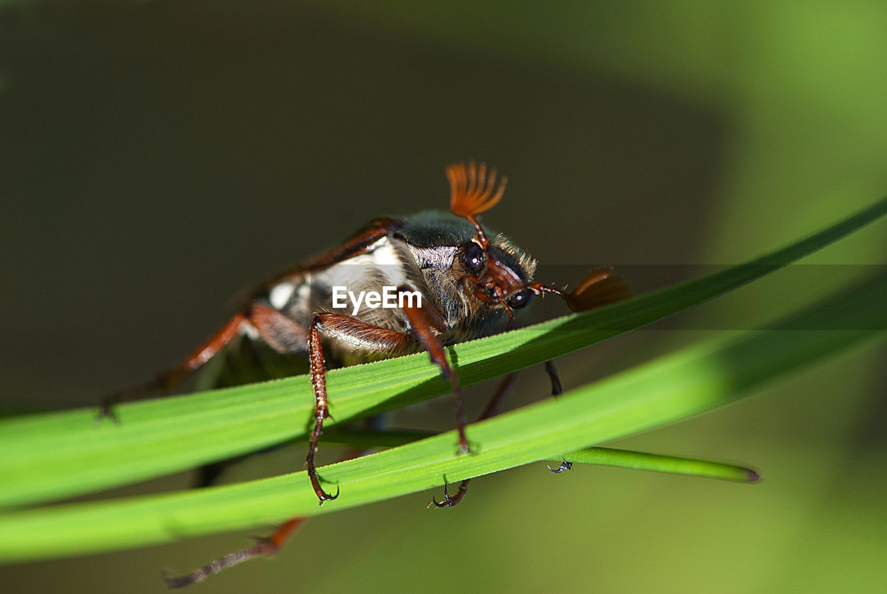 Close-up of cockchafer on grass