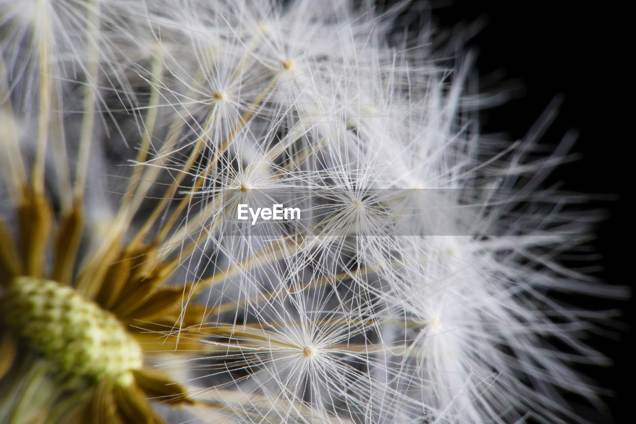 fragility, vulnerability, flower, flowering plant, dandelion, close-up, freshness, beauty in nature, plant, softness, inflorescence, growth, flower head, white color, no people, selective focus, dandelion seed, nature, day, black background