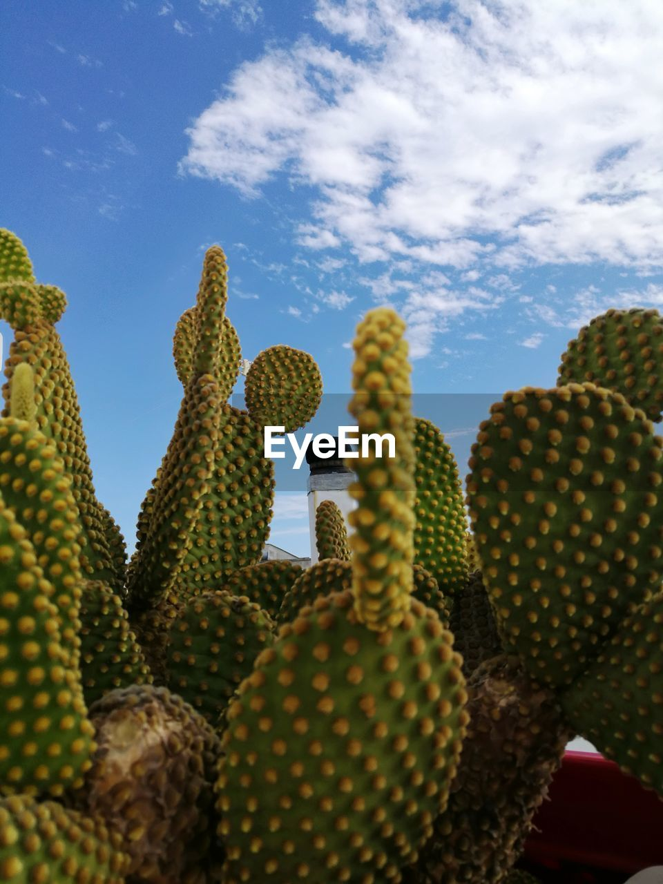 cactus, sky, succulent plant, plant, no people, nature, growth, cloud - sky, day, green color, beauty in nature, low angle view, thorn, prickly pear cactus, spiked, close-up, outdoors, saguaro cactus, yellow, freshness
