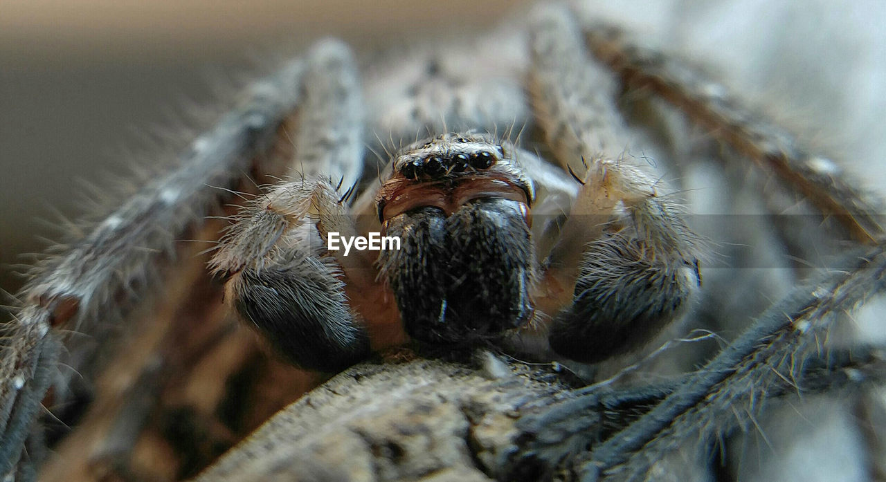 animals in the wild, animal wildlife, animal themes, one animal, animal, insect, invertebrate, close-up, arachnid, arthropod, selective focus, spider, day, no people, jumping spider, nature, zoology, animal body part, outdoors, animal leg, animal eye