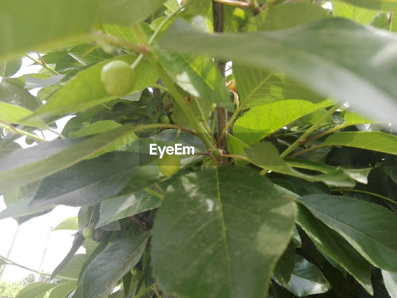 leaf, green color, growth, plant, nature, day, no people, outdoors, beauty in nature, close-up, freshness, food, tree