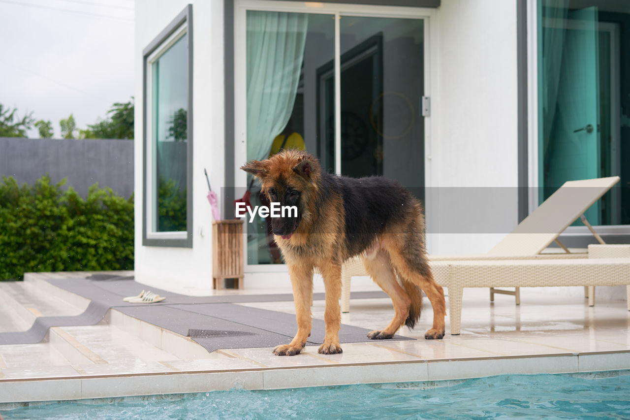 DOG STANDING BY SWIMMING POOL BY BUILDING