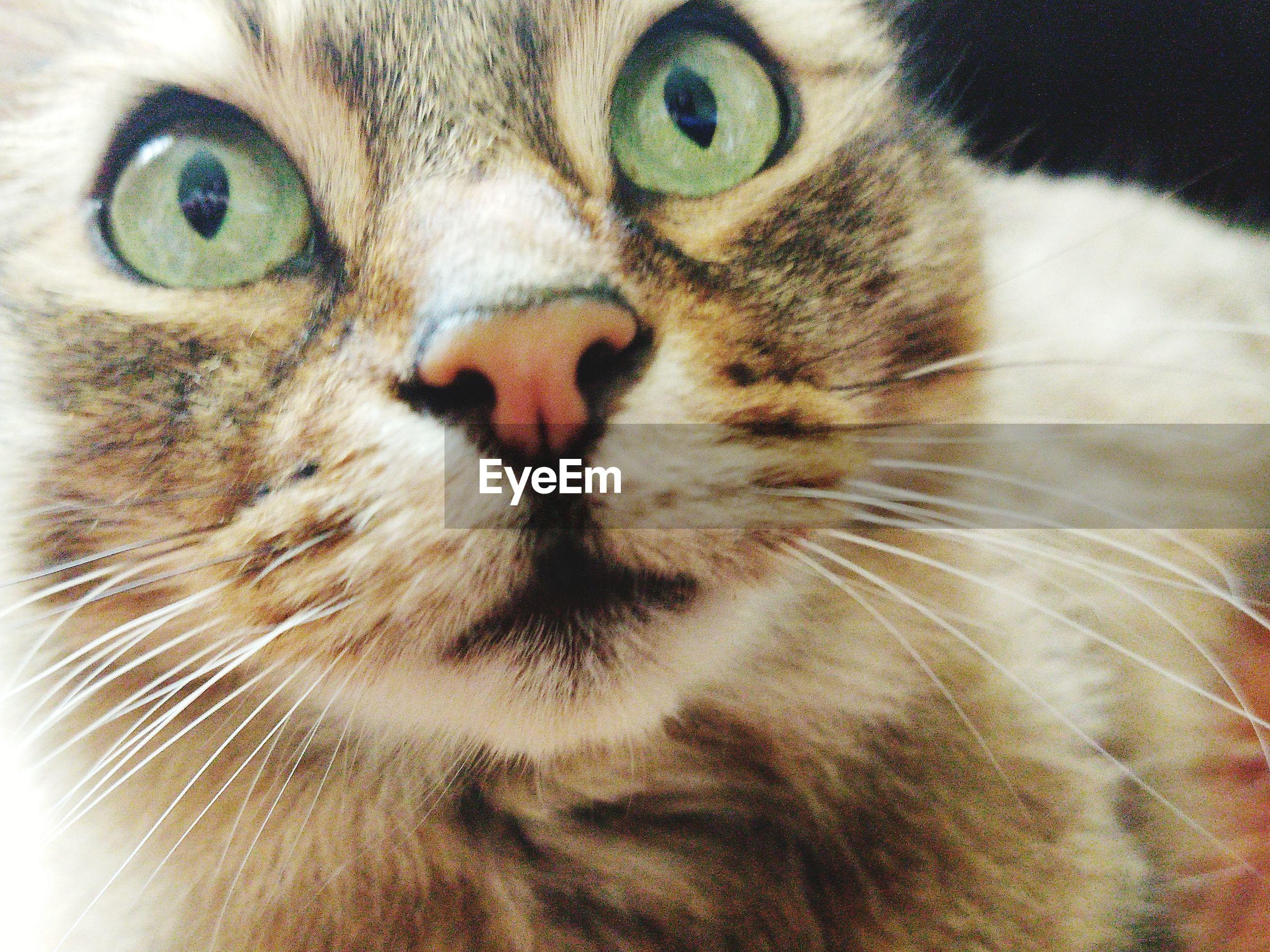 Cute close up tabby cat face