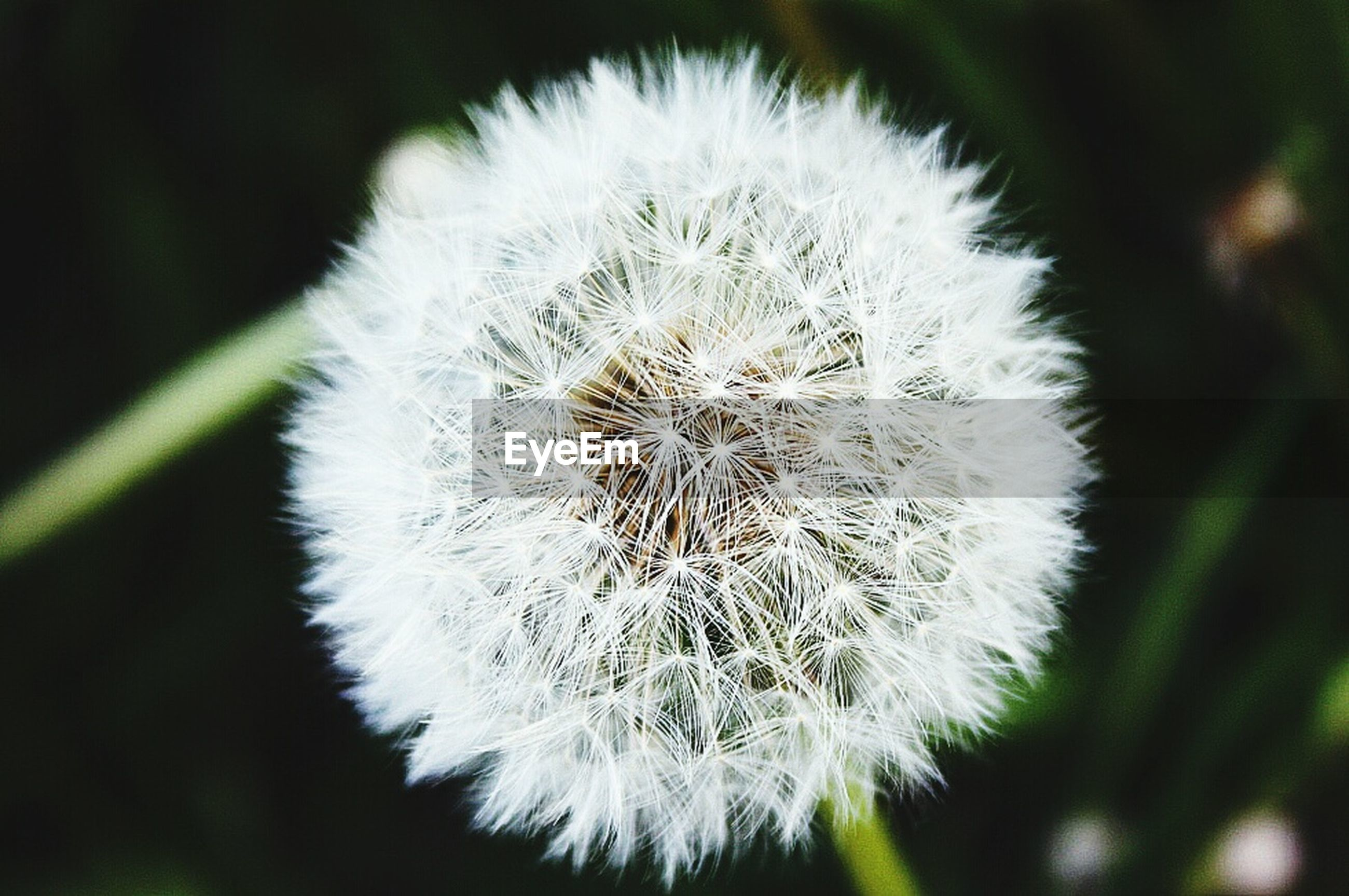 dandelion, flower, fragility, freshness, growth, flower head, close-up, focus on foreground, beauty in nature, single flower, nature, white color, softness, uncultivated, wildflower, plant, stem, dandelion seed, in bloom, selective focus