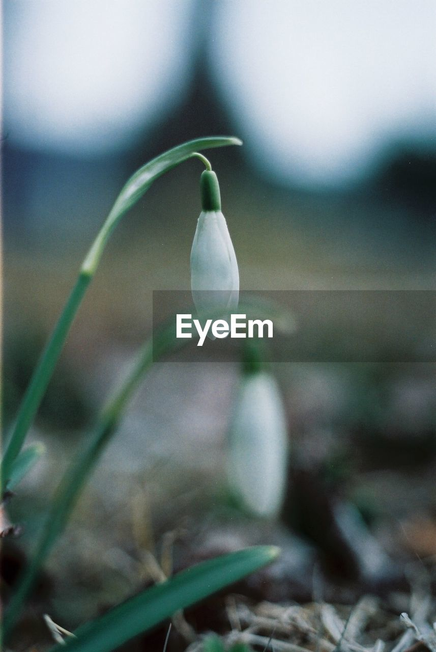flower, fragility, nature, white color, snowdrop, beauty in nature, petal, growth, focus on foreground, freshness, close-up, plant, day, flower head, no people, outdoors, blooming
