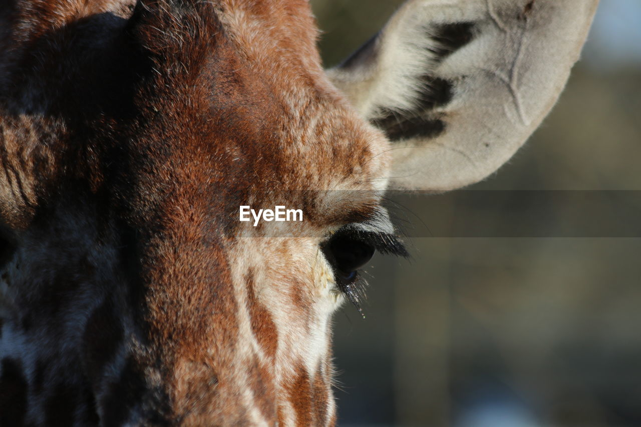 CLOSE-UP OF A BROWN HORSE