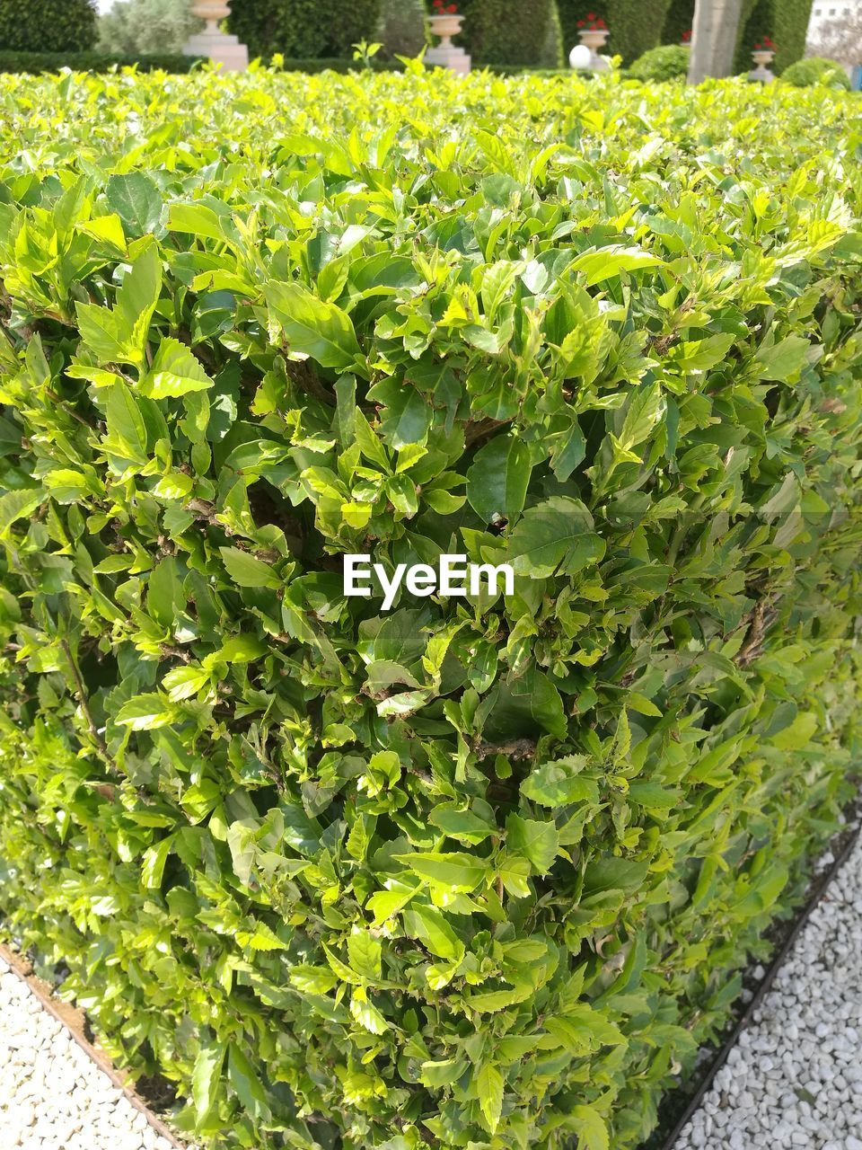 growth, plant, green color, leaf, nature, day, outdoors, agriculture, no people, freshness, close-up, food