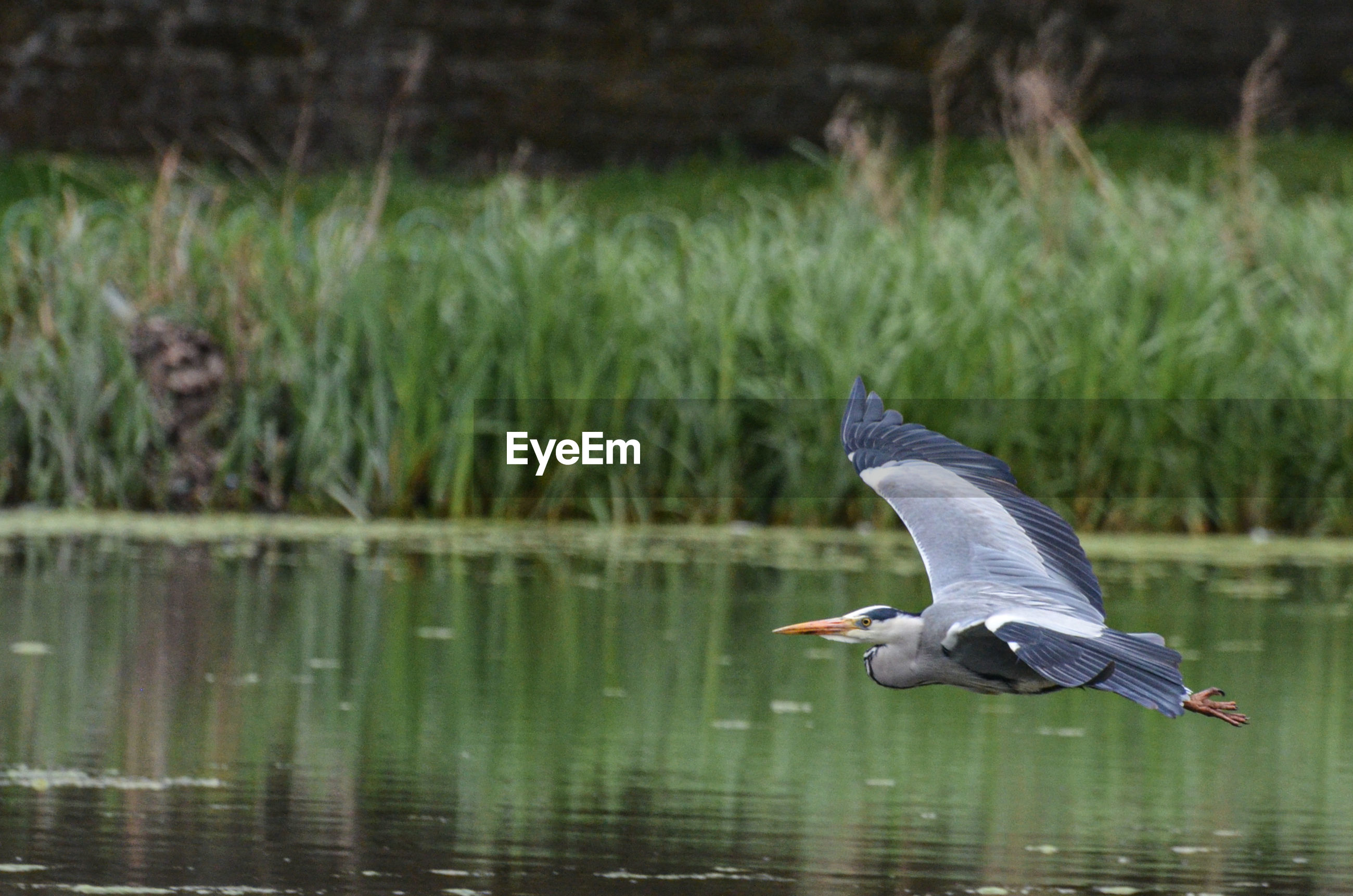 View of a heron flying over lake