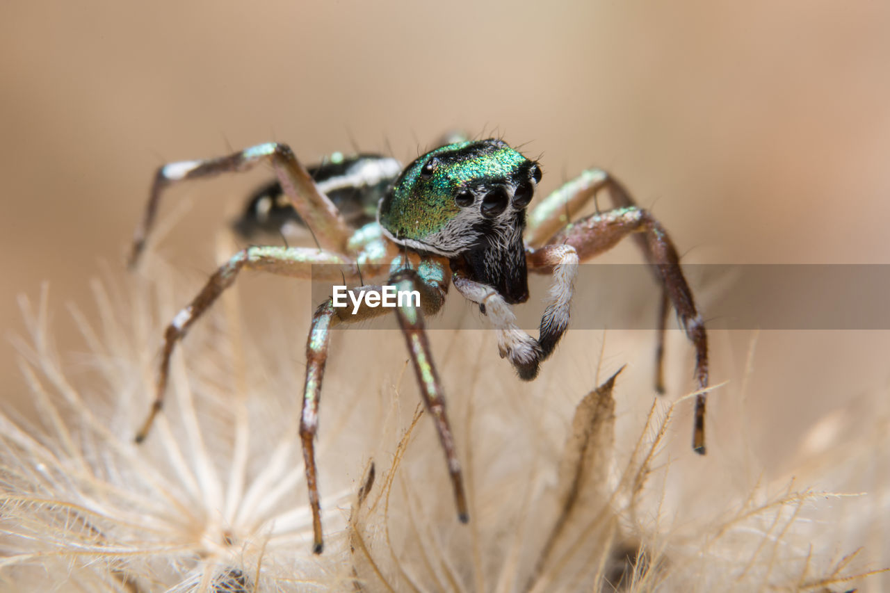 animal, animal wildlife, animal themes, animals in the wild, invertebrate, one animal, insect, arachnid, close-up, arthropod, zoology, spider, selective focus, jumping spider, plant, nature, no people, animal body part, day, eye, animal eye