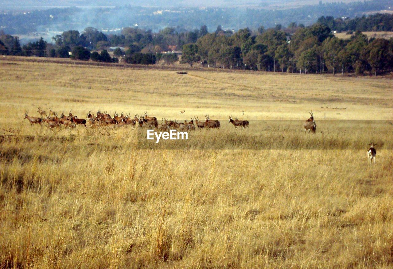 grass, plant, landscape, environment, group of animals, animal themes, land, large group of animals, animal, field, animals in the wild, mammal, animal wildlife, nature, day, no people, tree, domestic animals, vertebrate, beauty in nature, outdoors, herd
