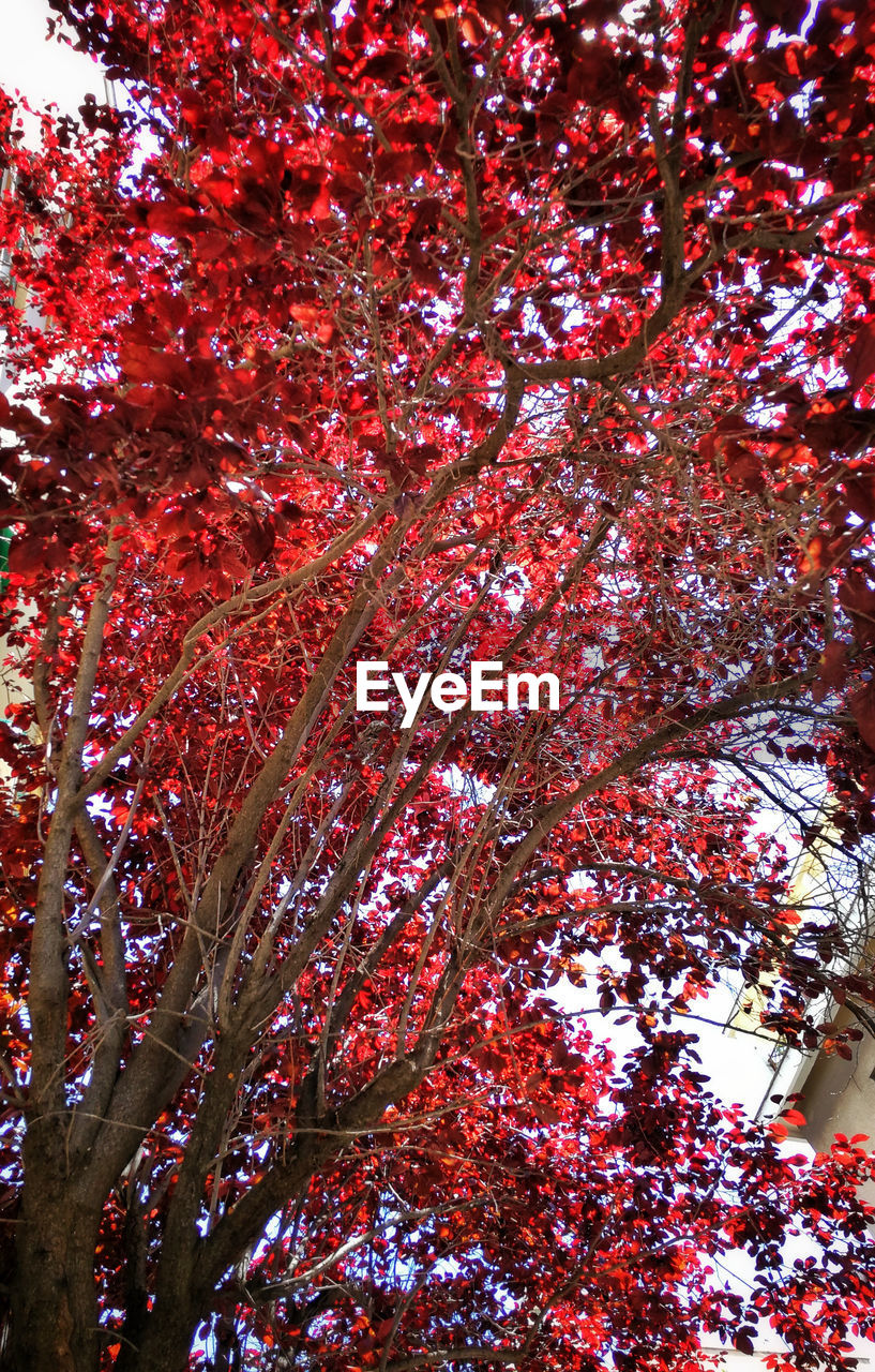 LOW ANGLE VIEW OF TREE WITH RED AUTUMN LEAVES