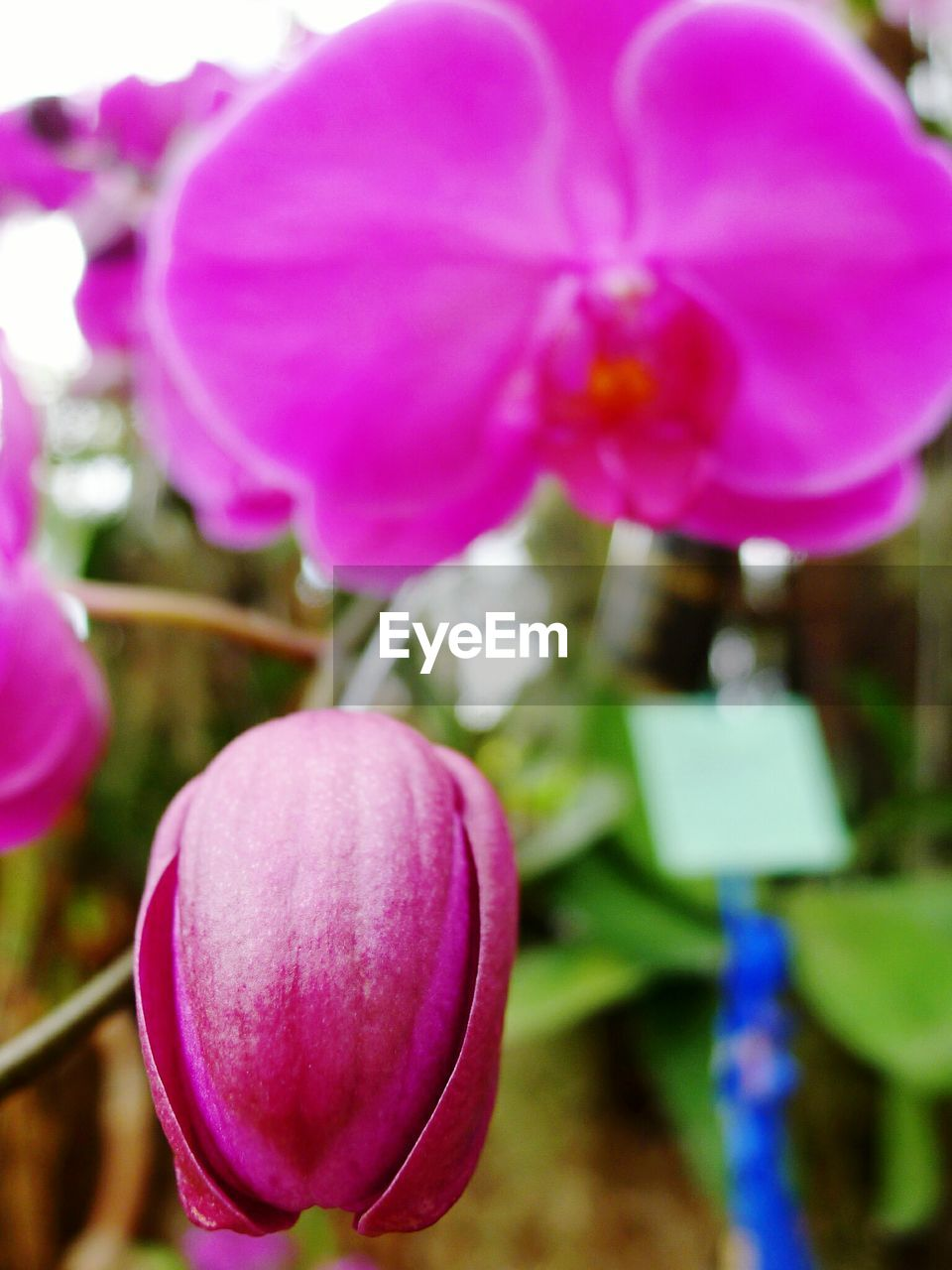 flower, beauty in nature, petal, purple, freshness, nature, growth, pink color, close-up, fragility, plant, blooming, outdoors, focus on foreground, no people, flower head, day