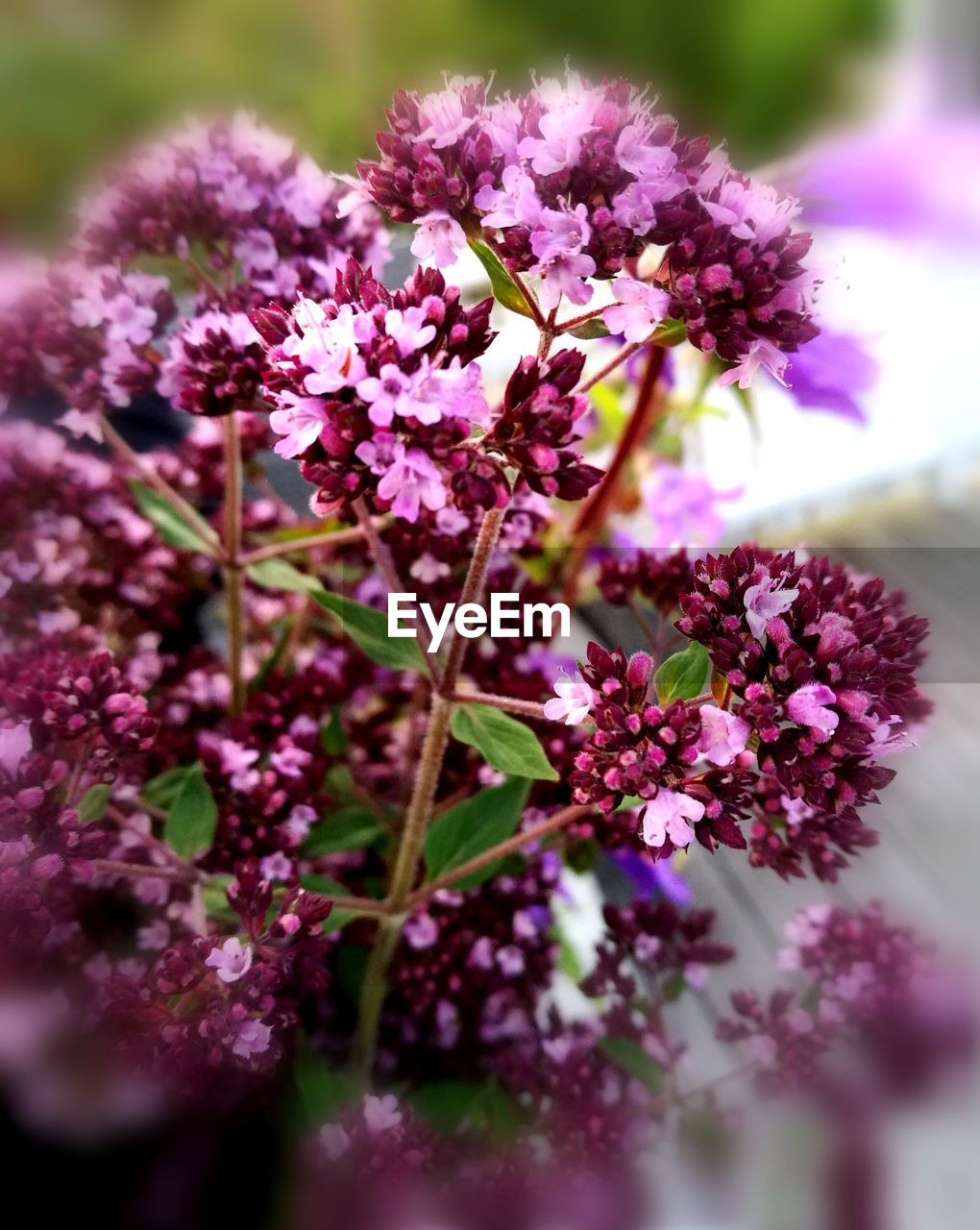 flower, fragility, purple, growth, nature, beauty in nature, selective focus, freshness, no people, plant, close-up, petal, day, outdoors, flower head, lilac, blooming