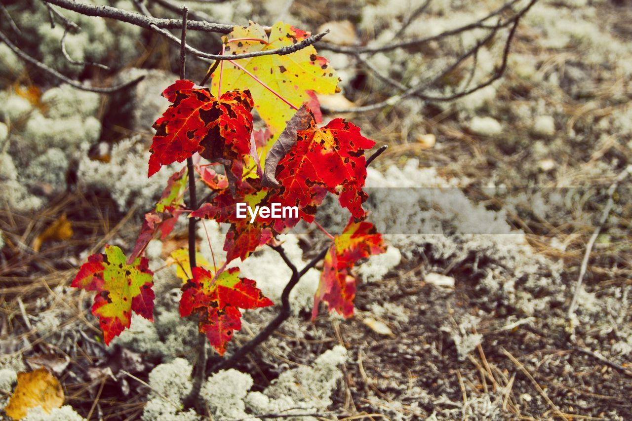 nature, autumn, beauty in nature, leaf, fragility, change, red, day, outdoors, no people, close-up, cold temperature, winter, flower, branch, tree, maple