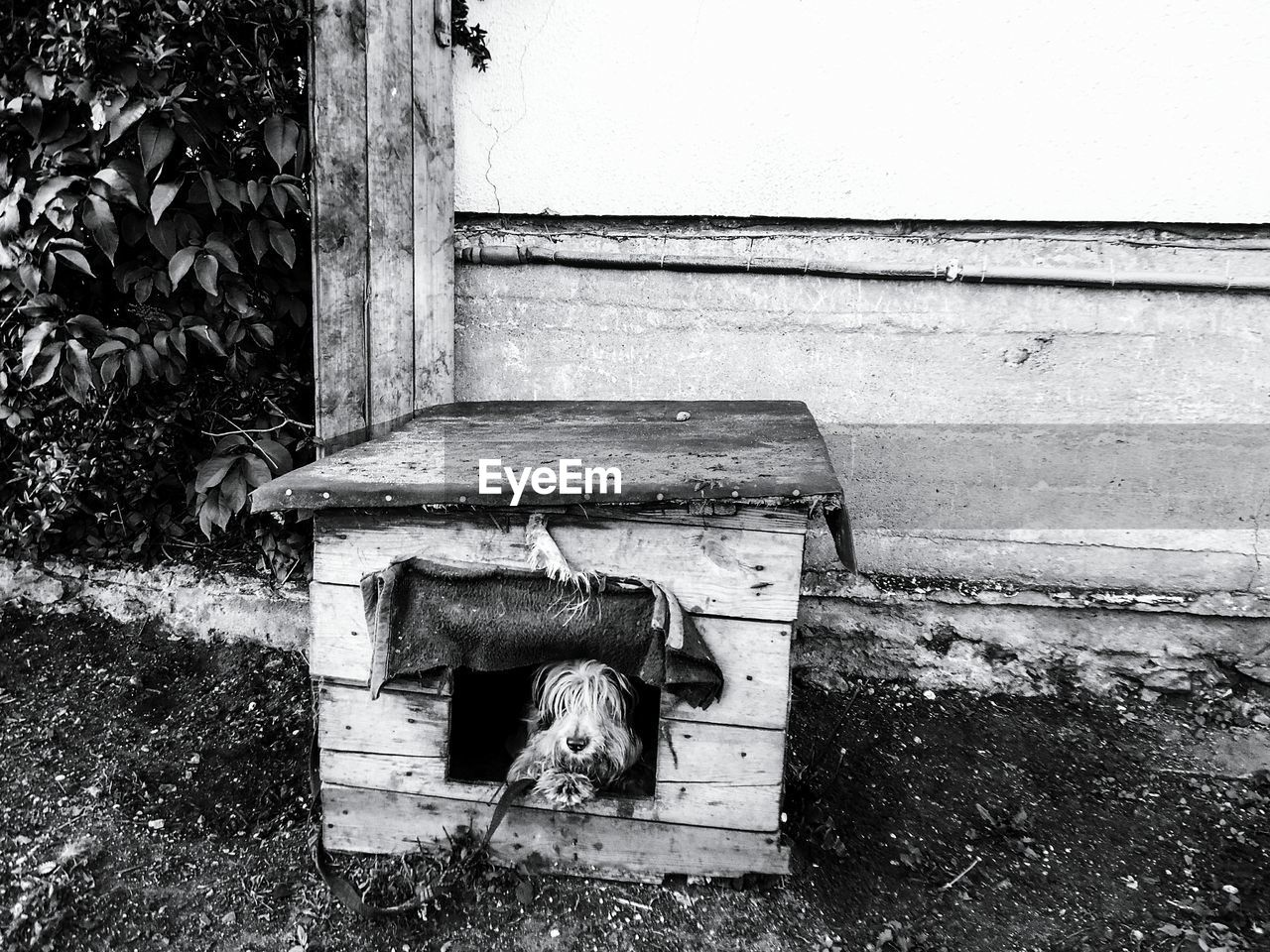Dog Lying In Kennel