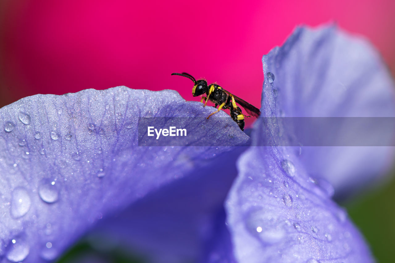 flowering plant, flower, invertebrate, insect, close-up, animal, purple, animal themes, petal, animal wildlife, plant, one animal, animals in the wild, beauty in nature, freshness, drop, growth, selective focus, fragility, vulnerability, no people, flower head, pollen, dew
