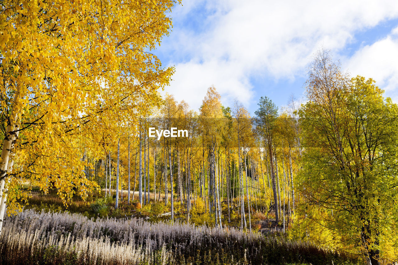 tree, plant, autumn, change, beauty in nature, yellow, tranquility, growth, sky, nature, no people, day, tranquil scene, scenics - nature, land, forest, non-urban scene, cloud - sky, outdoors, landscape, autumn collection, fall