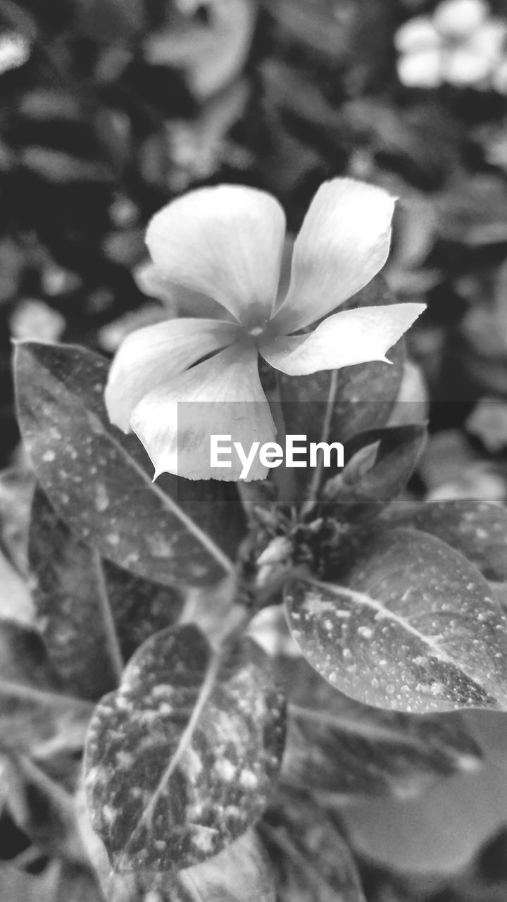 flower, petal, nature, growth, beauty in nature, outdoors, plant, day, fragility, flower head, leaf, close-up, no people, freshness, blooming, periwinkle