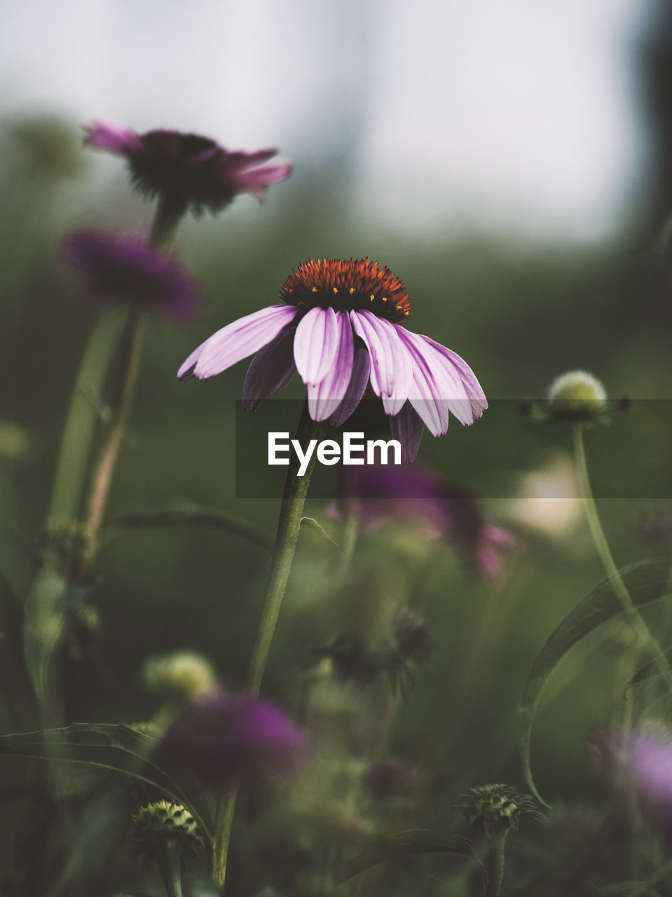 flowering plant, flower, freshness, vulnerability, fragility, plant, growth, petal, beauty in nature, close-up, inflorescence, flower head, selective focus, nature, no people, pink color, day, plant stem, field, coneflower, outdoors, pollen, purple, sepal