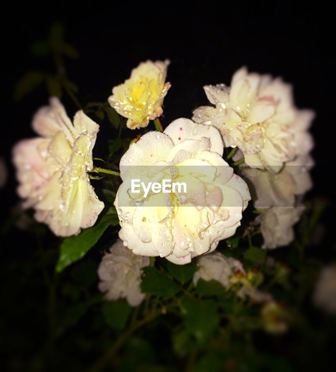 flower, petal, flower head, beauty in nature, rose - flower, nature, growth, fragility, close-up, plant, no people, freshness, blooming, outdoors, day, animal themes, black background