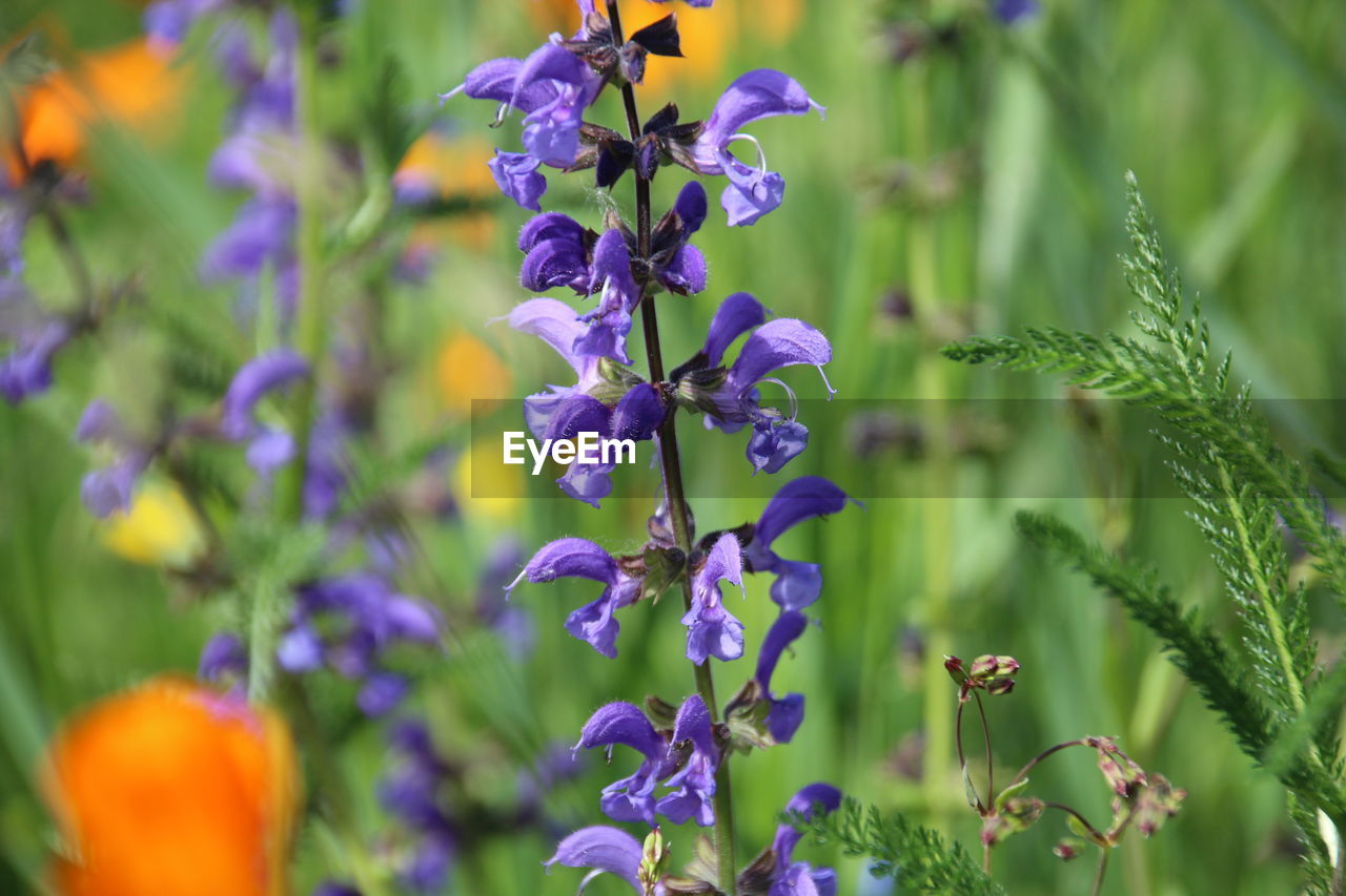 flower, flowering plant, vulnerability, plant, beauty in nature, fragility, freshness, close-up, purple, growth, petal, no people, selective focus, nature, focus on foreground, day, flower head, inflorescence, plant stem, botany