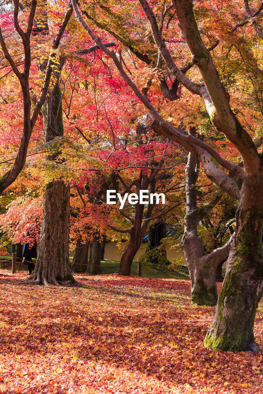tree, autumn, plant, change, beauty in nature, growth, nature, tree trunk, trunk, tranquility, branch, orange color, scenics - nature, day, tranquil scene, no people, leaf, outdoors, park, plant part, autumn collection, fall, cherry blossom