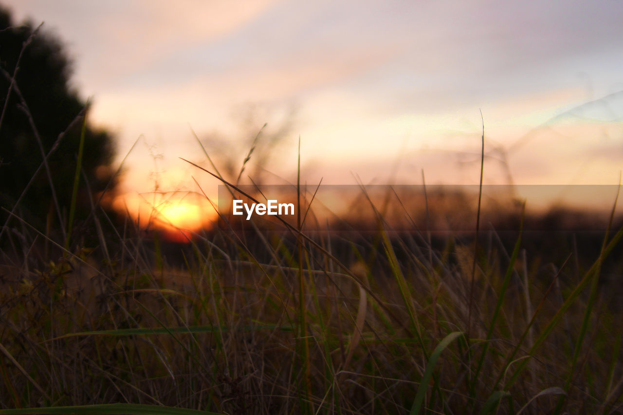 grass, sunset, nature, growth, field, beauty in nature, tranquil scene, tranquility, scenics, no people, outdoors, plant, focus on foreground, rural scene, sky, timothy grass, close-up, landscape, wheat, day