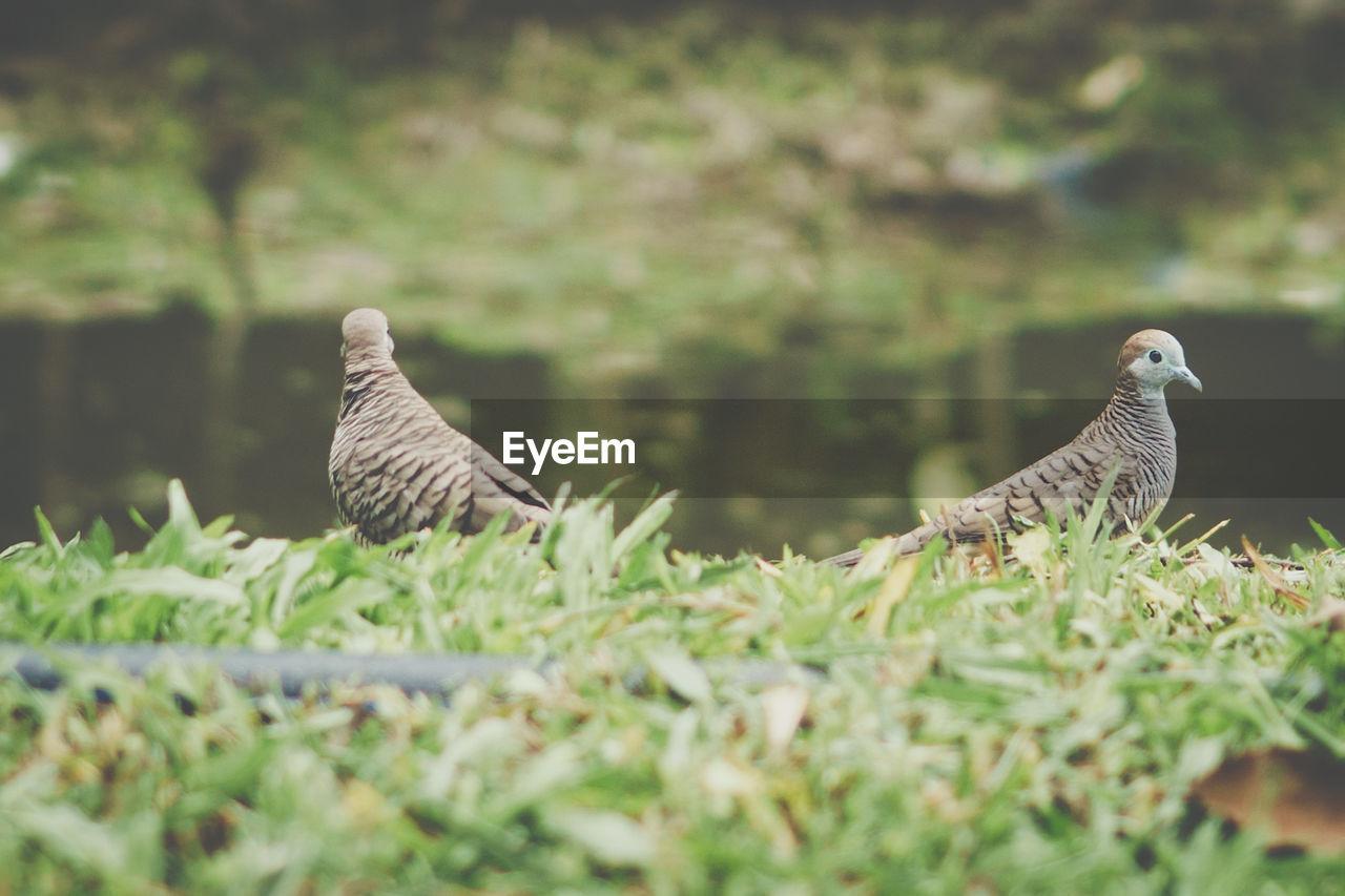 Close-up of birds perching on grassy field