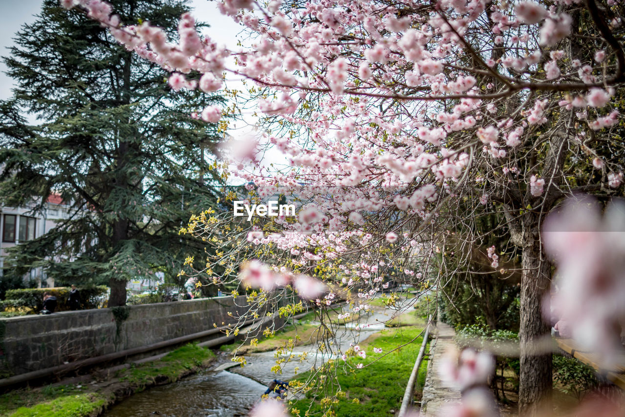 plant, tree, flower, flowering plant, growth, beauty in nature, springtime, fragility, nature, branch, blossom, day, freshness, cherry blossom, vulnerability, no people, park, selective focus, park - man made space, outdoors, cherry tree