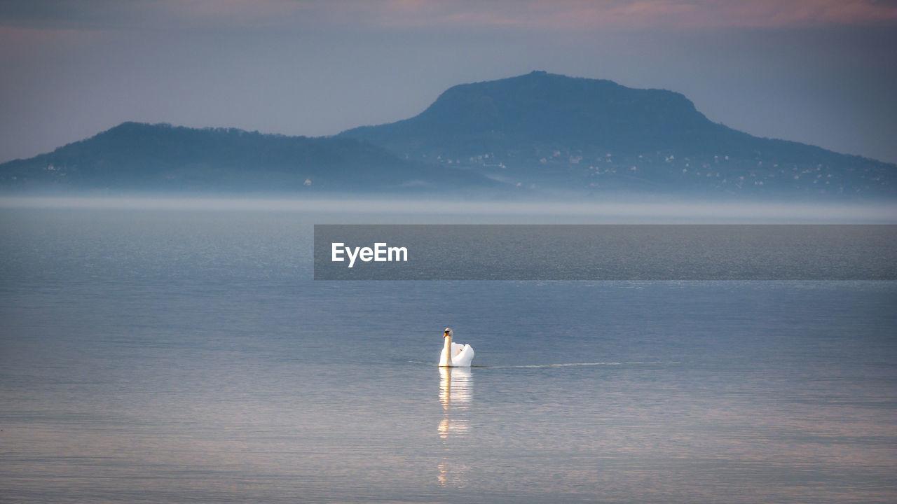 Swan in lake during sunrise
