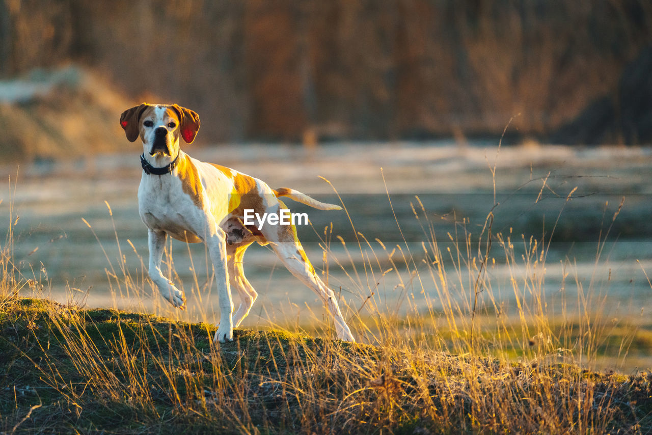 one animal, domestic animals, mammal, animal themes, dog, domestic, canine, pets, animal, vertebrate, grass, plant, nature, land, day, field, no people, standing, water, running, jack russell terrier