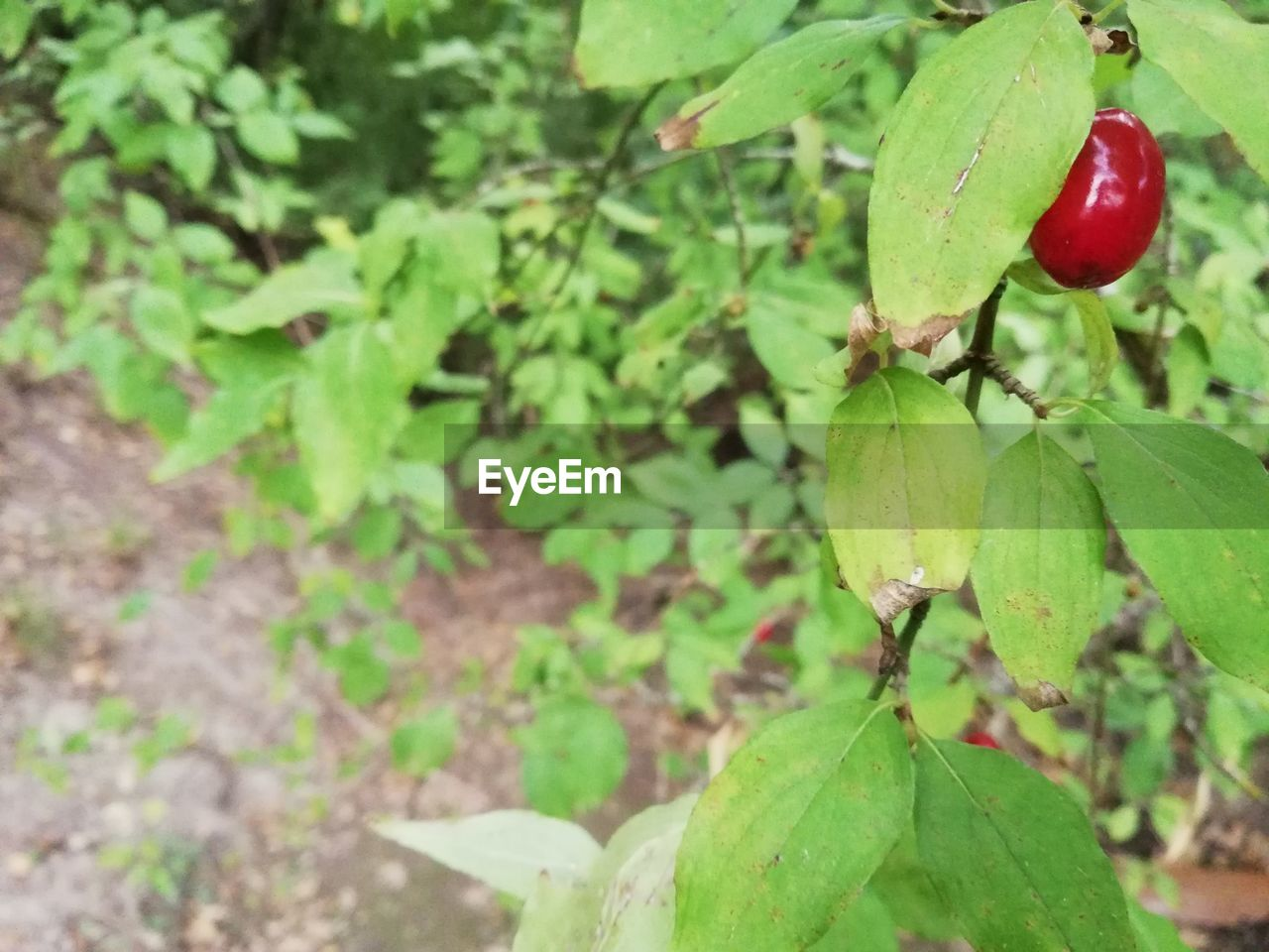 leaf, plant part, green color, growth, food and drink, plant, food, fruit, healthy eating, close-up, freshness, nature, red, day, no people, beauty in nature, tree, focus on foreground, wellbeing, outdoors, ripe