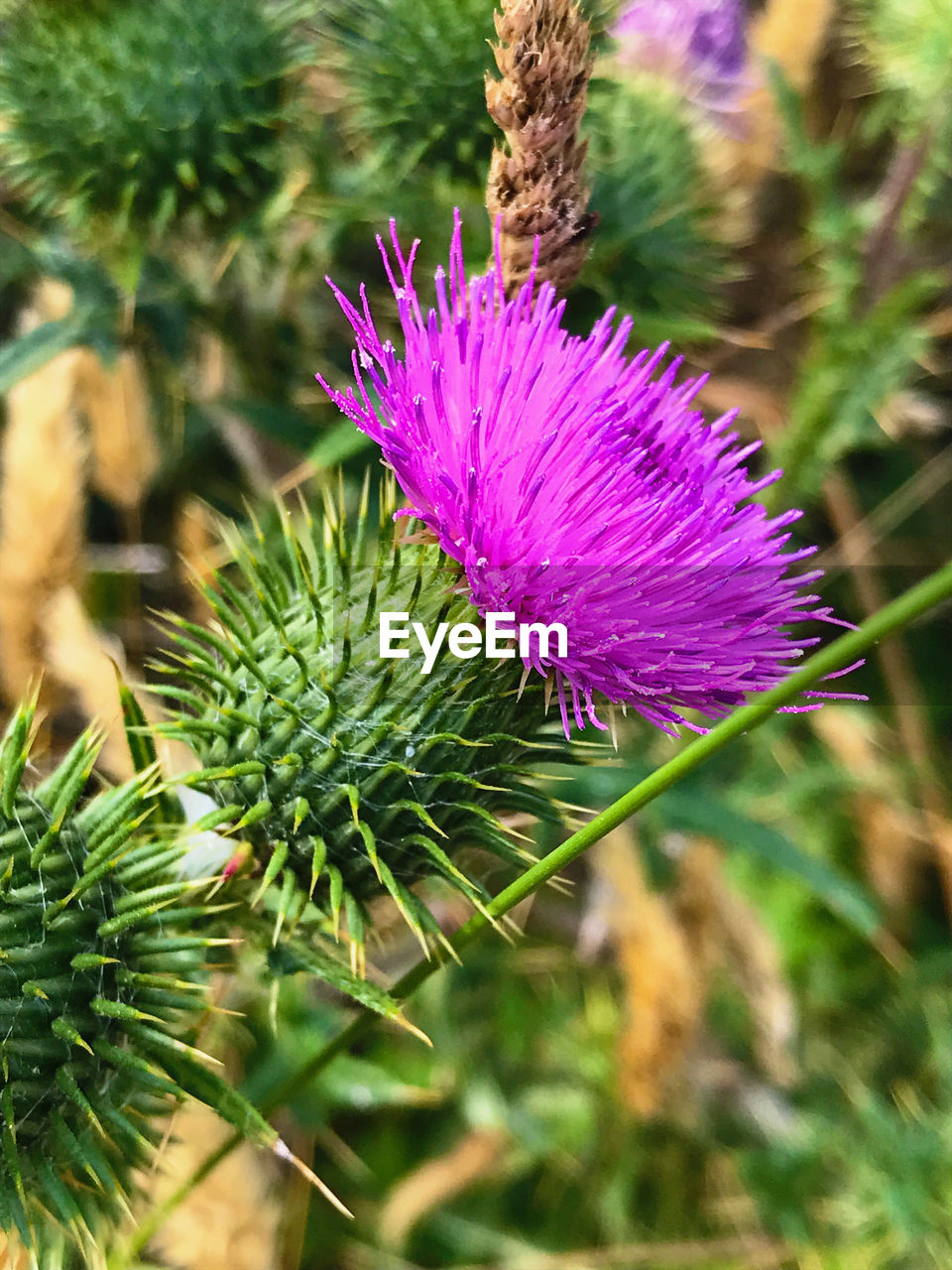 plant, growth, beauty in nature, freshness, close-up, flower, green color, flowering plant, no people, nature, vulnerability, focus on foreground, day, fragility, pink color, inflorescence, flower head, purple, leaf, thistle, outdoors, spiky