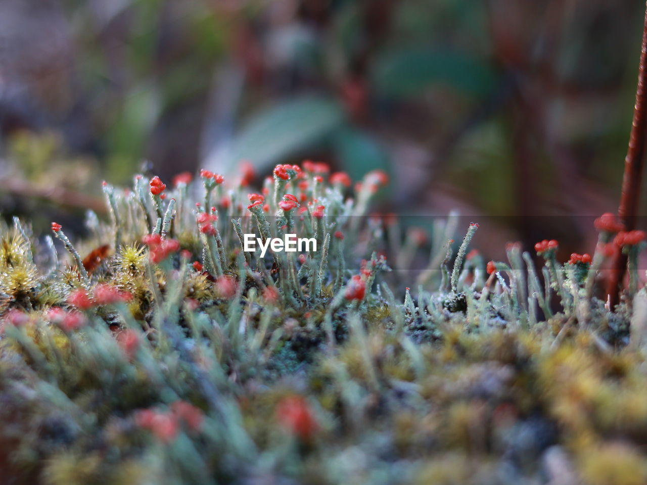 selective focus, growth, plant, close-up, beauty in nature, day, nature, no people, land, field, red, flower, outdoors, freshness, vulnerability, flowering plant, tranquility, green color, fragility, food, lichen