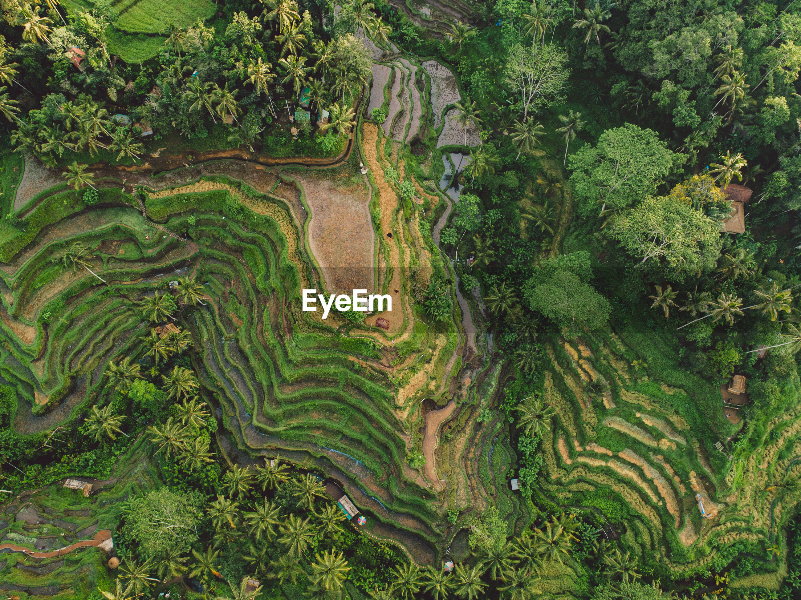 HIGH ANGLE VIEW OF RICE PADDY ON LANDSCAPE