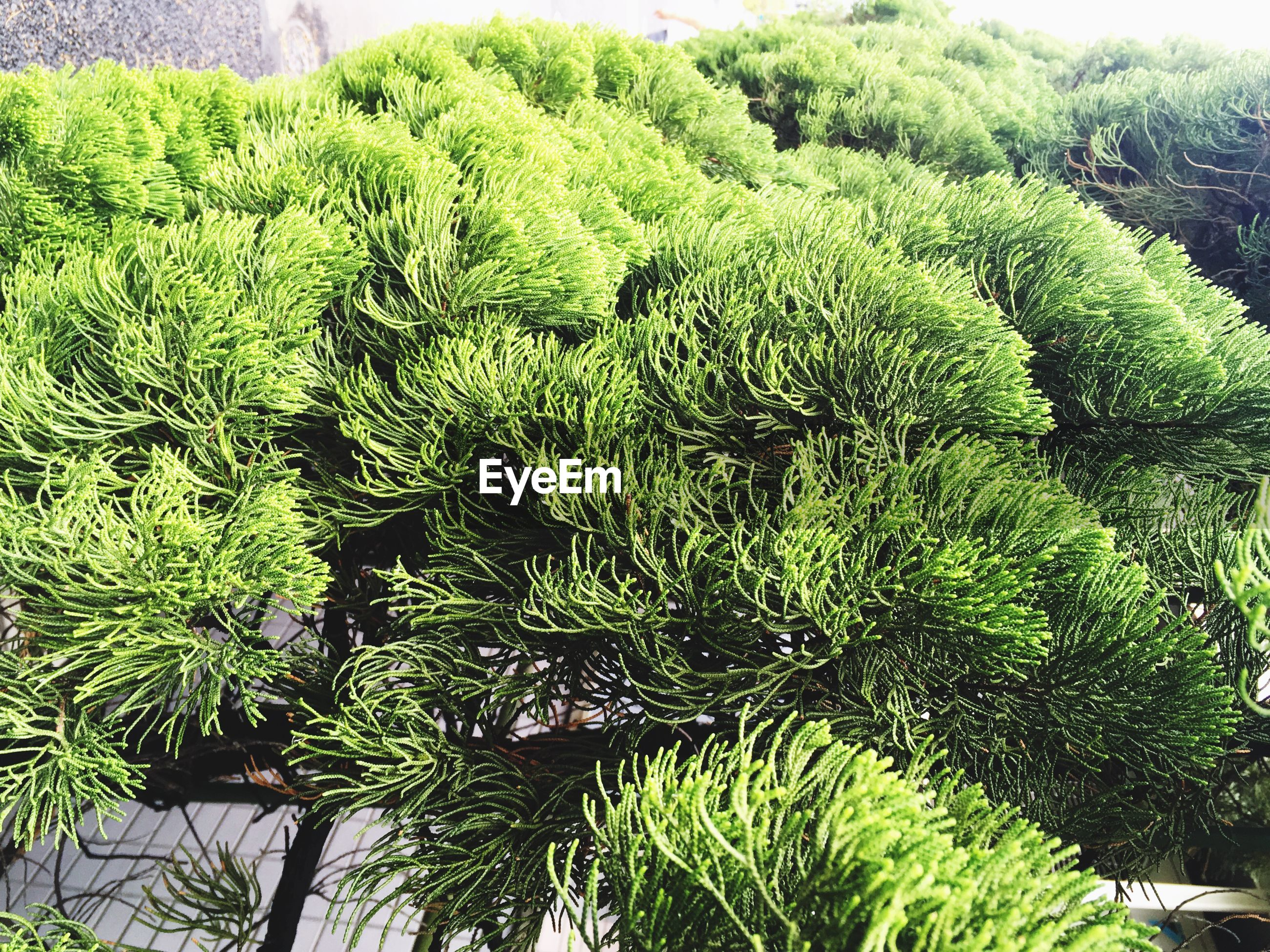 growth, green color, nature, close-up, detail, beauty in nature, plant, scenics, full frame, freshness, branch, day, green, tranquility, botany, fragility, outdoors, tranquil scene, lush foliage, plant life, no people, extreme close up, needle - plant part, non-urban scene