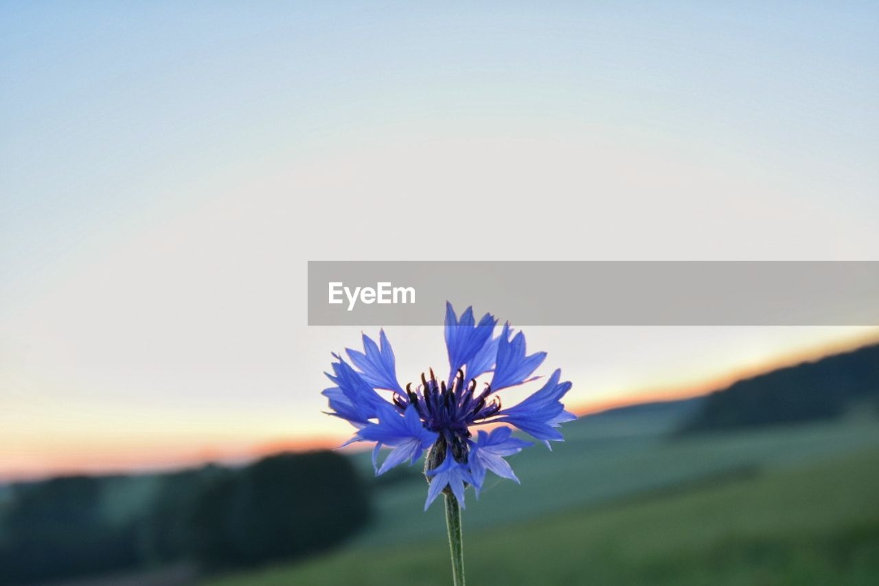 flower, nature, beauty in nature, fragility, petal, growth, freshness, plant, flower head, no people, tranquility, outdoors, clear sky, cosmos flower, blue, blooming, close-up, sunset, sky, day, crocus