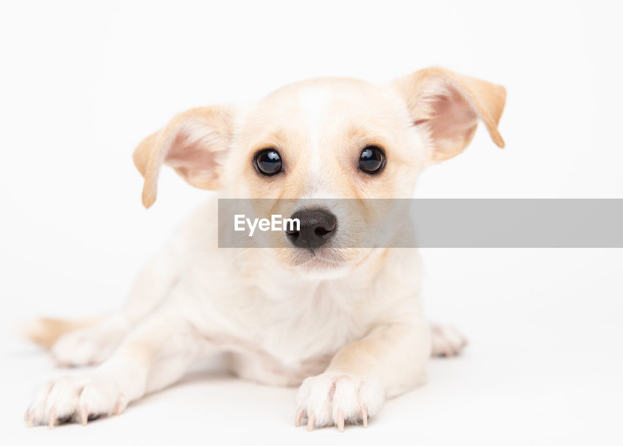 Portrait Of Cute Puppy Sitting Against White Background