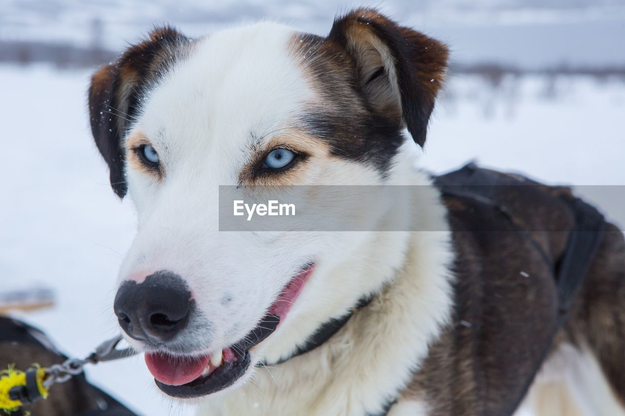 domestic, domestic animals, mammal, pets, one animal, canine, dog, animal themes, animal, vertebrate, focus on foreground, snow, cold temperature, close-up, winter, sled dog, looking, looking away, no people, animal head, animal eye