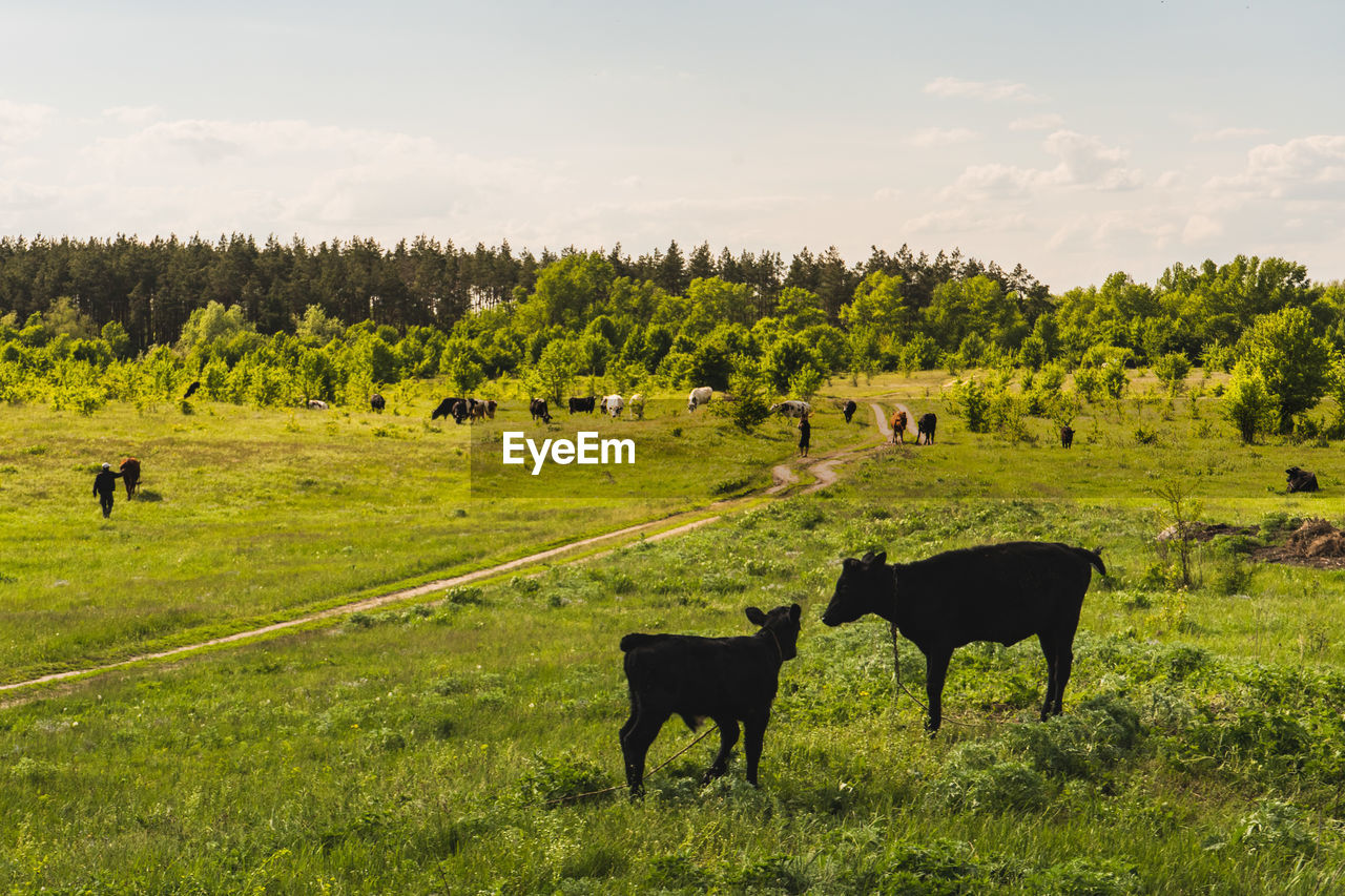 plant, animal themes, mammal, animal, field, livestock, tree, group of animals, domestic animals, domestic, land, vertebrate, pets, grass, green color, cattle, sky, nature, environment, landscape, no people, herbivorous, outdoors