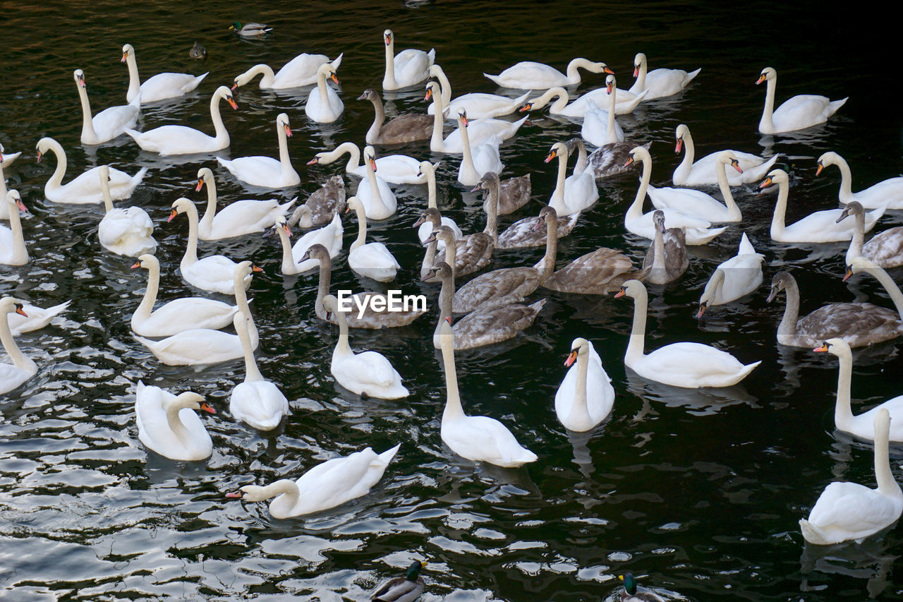 bird, animal themes, large group of animals, animals in the wild, white color, animal wildlife, lake, high angle view, nature, flock of birds, no people, water, day, swan, togetherness, outdoors, swimming, beauty in nature, crane - bird